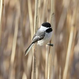 Black-capped Chickadee Spring Reeds by Marlin and Laura Hum