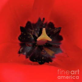 Black Core Tulip by Atiqur Rahman