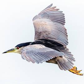 Black-crowned Night Heron 0065-122219-2 by Tam Ryan