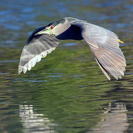 Black-crowned Night Heron 9724-020920-2 by Tam Ryan