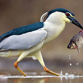 Black-crowned night heron with meal by Tommy Lindbohm