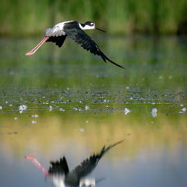 Black-necked Stilt with Reflection by Judi Dressler