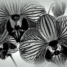 Black Orchids by Jean Merrill