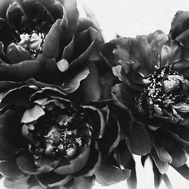 Black Peony Flowers by Susan Maxwell Schmidt