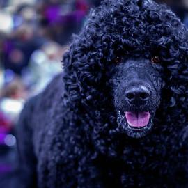 Black Poodle by Linda Bielko