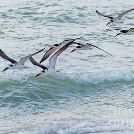 Black Skimmers Over the Waves - 1037 by Marvin Reinhart