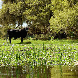 Black Steer and Cattle Egrets by Sally Weigand