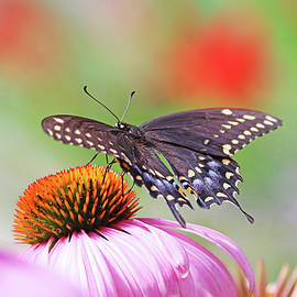 Black Swallowtail On Coneflower by Debbie Oppermann