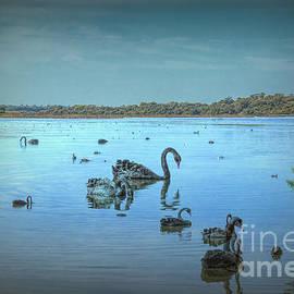 Black Swans on Lake Joondalup by Elaine Teague