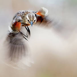 Blackbird Motion Dance by Judi Dressler