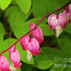 Bleeding Hearts by Ruth H Curtis