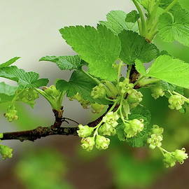Blooming Black Currant by Lyuba Filatova