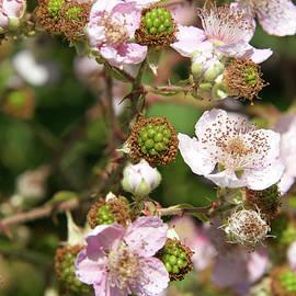 Blooming Blackberries by Sheila Fitzgerald