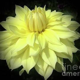 Blooming Lemon Chrysanthemum by Jeannie Rhode