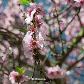 Blossom by Steve Hill