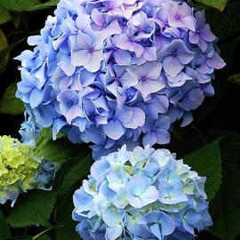 Blue and Purple Hydrangea Blossoms by Kathryn Jones