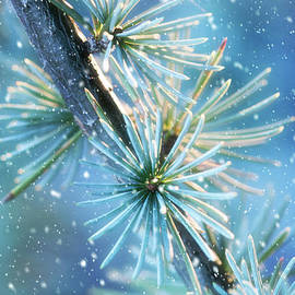 Blue Atlas Cedar Branch Dressed for Winter by Anita Pollak