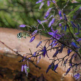 Blue Banded Bee - Amegilla cingulata and Dianella caerulea by Elaine Teague