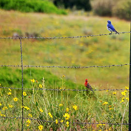 Blue Bird and Red Bird on Fence
