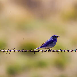 Blue bird on a wire by Jeff Swan
