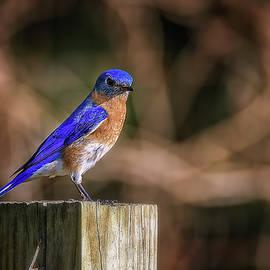 Blue Bird by Steve Rich
