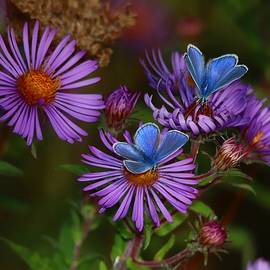 Blue Butterflies on Purple Asters by Marlin and Laura Hum