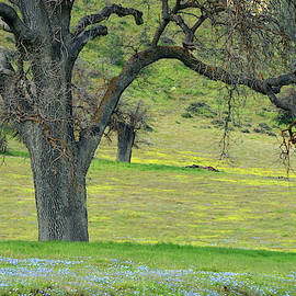 Blue Carpet and Oaks by Kathy Yates