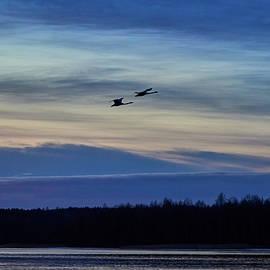 Blue clouds low light. Whooper swan by Jouko Lehto