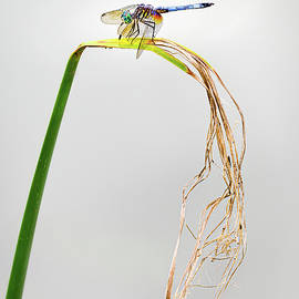 Blue Dasher on Grass by Morey Gers