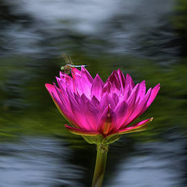 Blue Dasher on Water Lily by Morey Gers