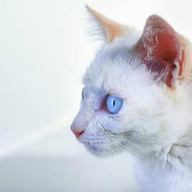 Blue-eyed cat II