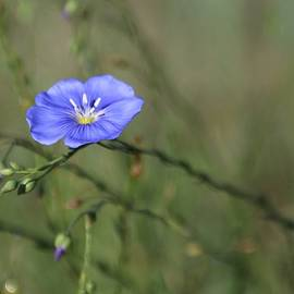 Blue Flax by Larry Kniskern