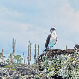 Blue-Footed Booby on Lichen Lava Rock by Catherine Sherman