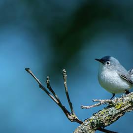 Blue gray Gnatcatcher by Philip Walker