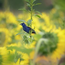 Blue Grosbeak in Sunflowers by Ray Silva
