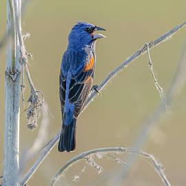 Blue Grosbeak Perched #2 by Morris Finkelstein
