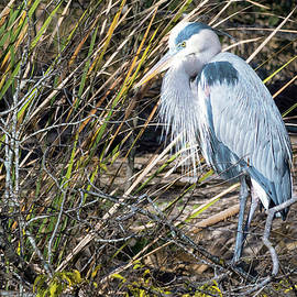 Blue Heron in the Spring by Nancy Comley