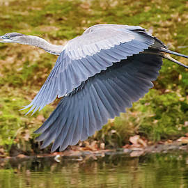 Blue Heron Takes Flight downbeat by Mark Roger Bailey