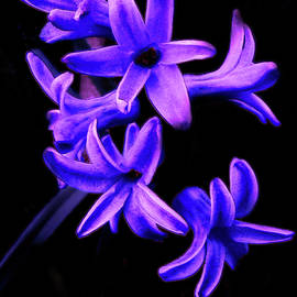 Blue Hyacinth by Gardening Perfection