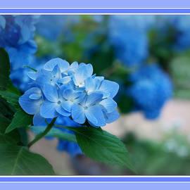 Blue Hydrangea Greeting Card by Marilyn DeBlock