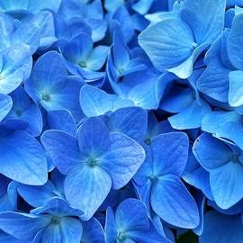 Blue Hydrangea  by Jerry Abbott
