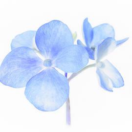 Blue Hydrangea by Sandi Kroll