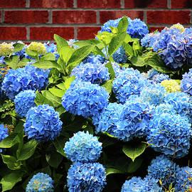 Blue Hydrangeas Are Beautiful by Cynthia Guinn