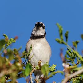 Blue Jay and Blue Sky 2 by Jill Nightingale