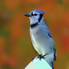 Blue Jay enjoying the last foliage of the year by Geraldine Scull