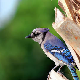 Blue Jay in Contemplation by Jill Nightingale