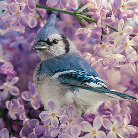 Blue Jay in the Lilacs by Patti Deters