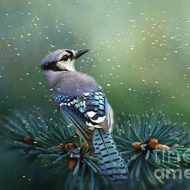 Blue Jay in Winter by Kathy Kelly