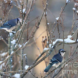 Blue Jays in Spring by Sandra Huston