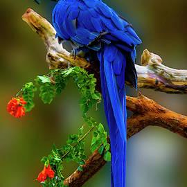 Blue Macaw by Paul Wear